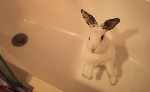 Как купать декоративного кролика: правила, моющие средства