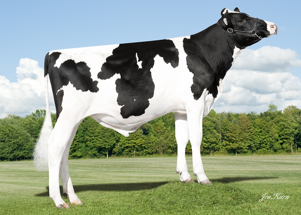 Голштинская порода коров: описание и характеристики