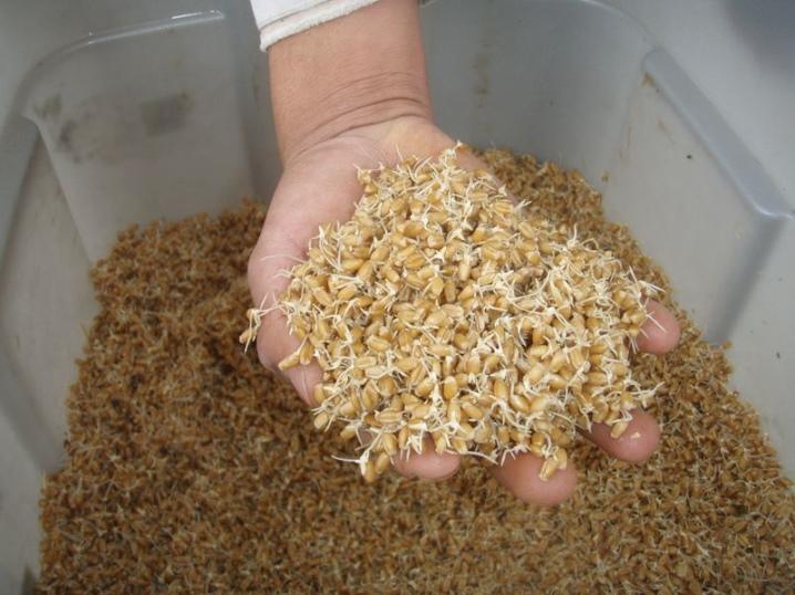 Зерно для кур: как проращивать и измельчить в домашних условиях