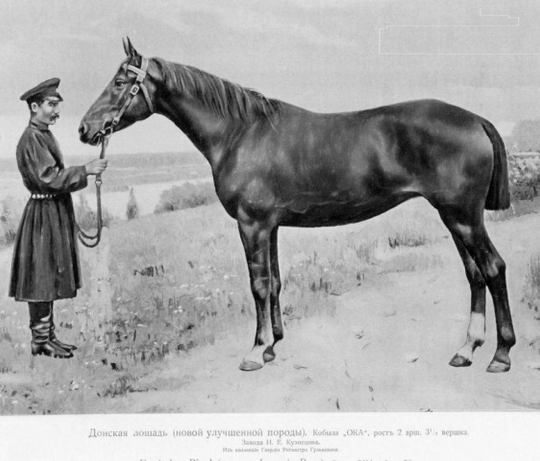 Донская лошадь: описание породы и история происхождения