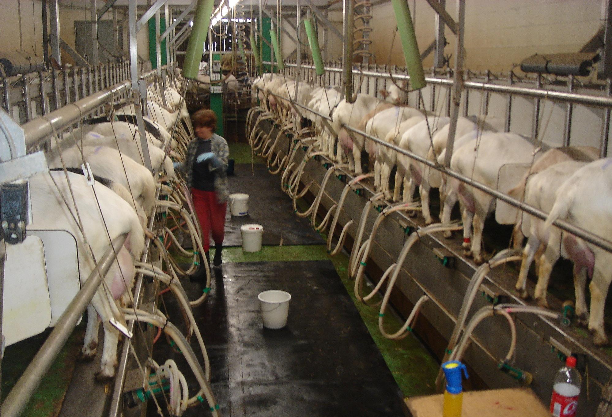 Бизнес-план козьей фермы на 50 голов и ход строительства