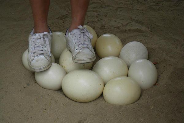 Яйцо страуса: сколько весит и как несутся птицы