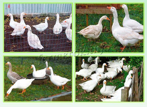 Какие самые крупные породы гусей?