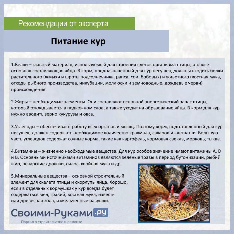Чем нужно кормить кур несушек в домашний условиях: советы и рекомендации