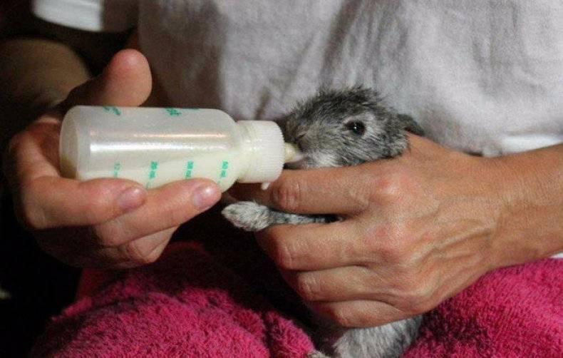 Искусственное выкармливание крольчонка без крольчихи: сколько раз в сутки выкармливать, советы специалистов