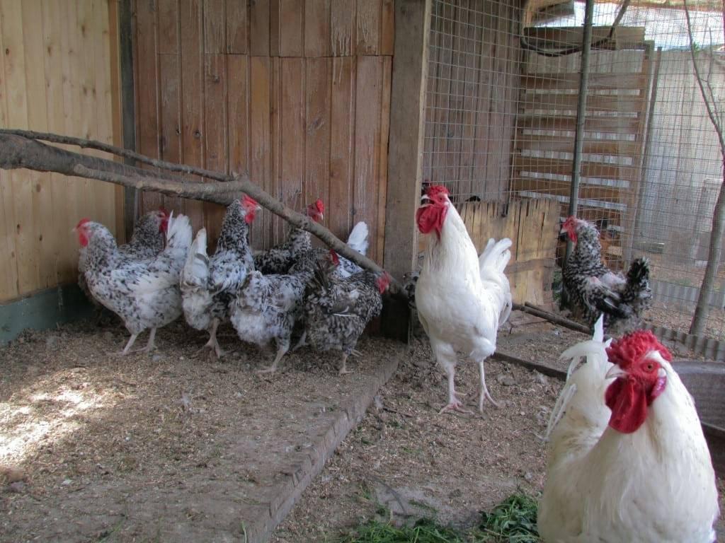 Минорка порода кур