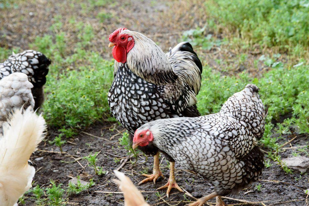 Амрокс порода кур: характеристика и описание с фото, а так же отзывы птицеводов