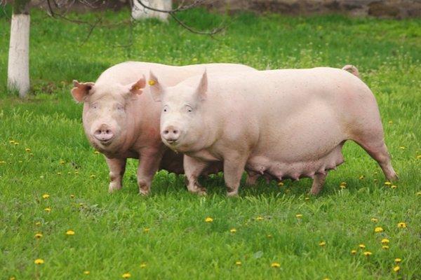 Свиньи породы ландрас: описание и разновидности