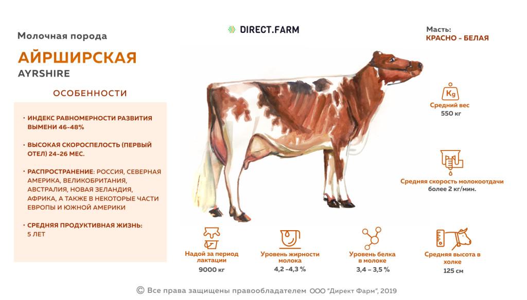 Айрширская порода коров (38 фото): характеристика крс айрширской породы, ее плюсы и минусы. какие показатели молока? особенности разведения