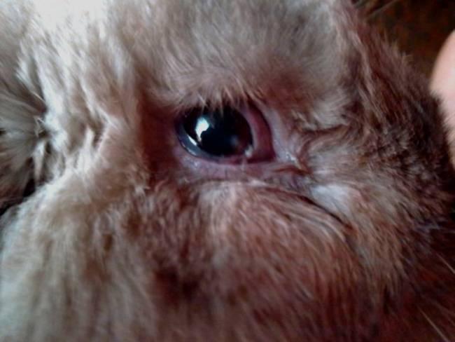 Болезни глаз у кроликов: почему гноятся и слипаются
