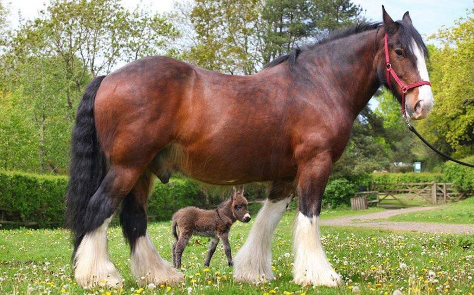 Лошадь шайр (16 фото): распространение шайрской породы лошадей в россии, уход за жеребенком