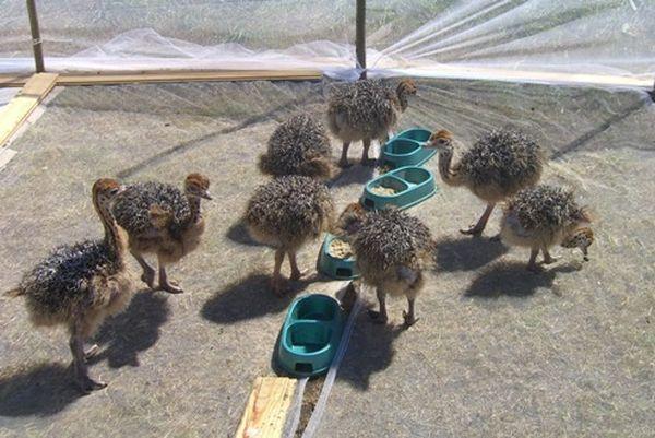 Разведение страусов: зачем и насколько выгодно