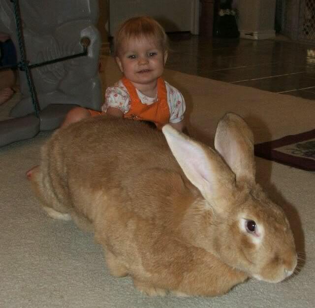 Кролик великан — основные породы, особенности разведения и ухода