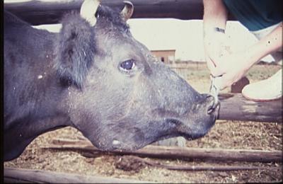 Шишка на челюсти у коровы