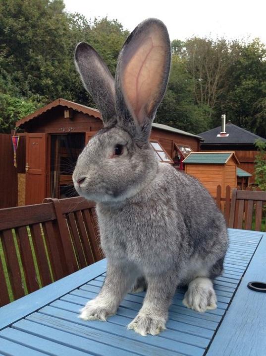 Кролики великаны — топ-6 пород