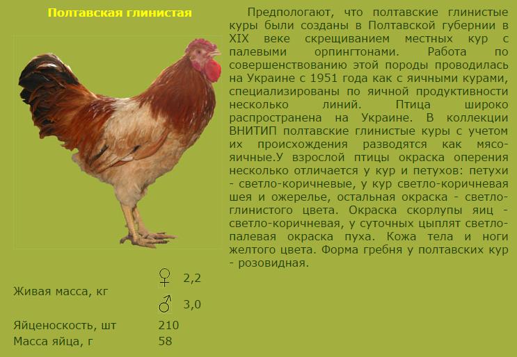 Мясные породы кур: описание, фото, таблица, отзывы