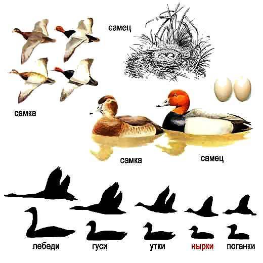 Как отличить утку от гуся - домашний журнал
