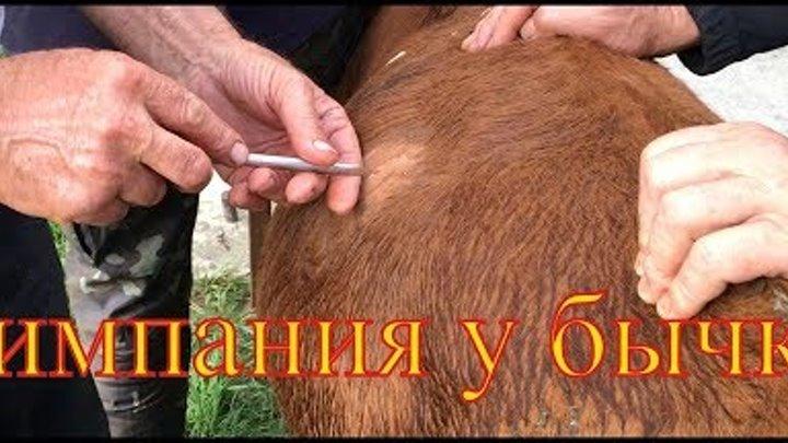 О рубце теленка