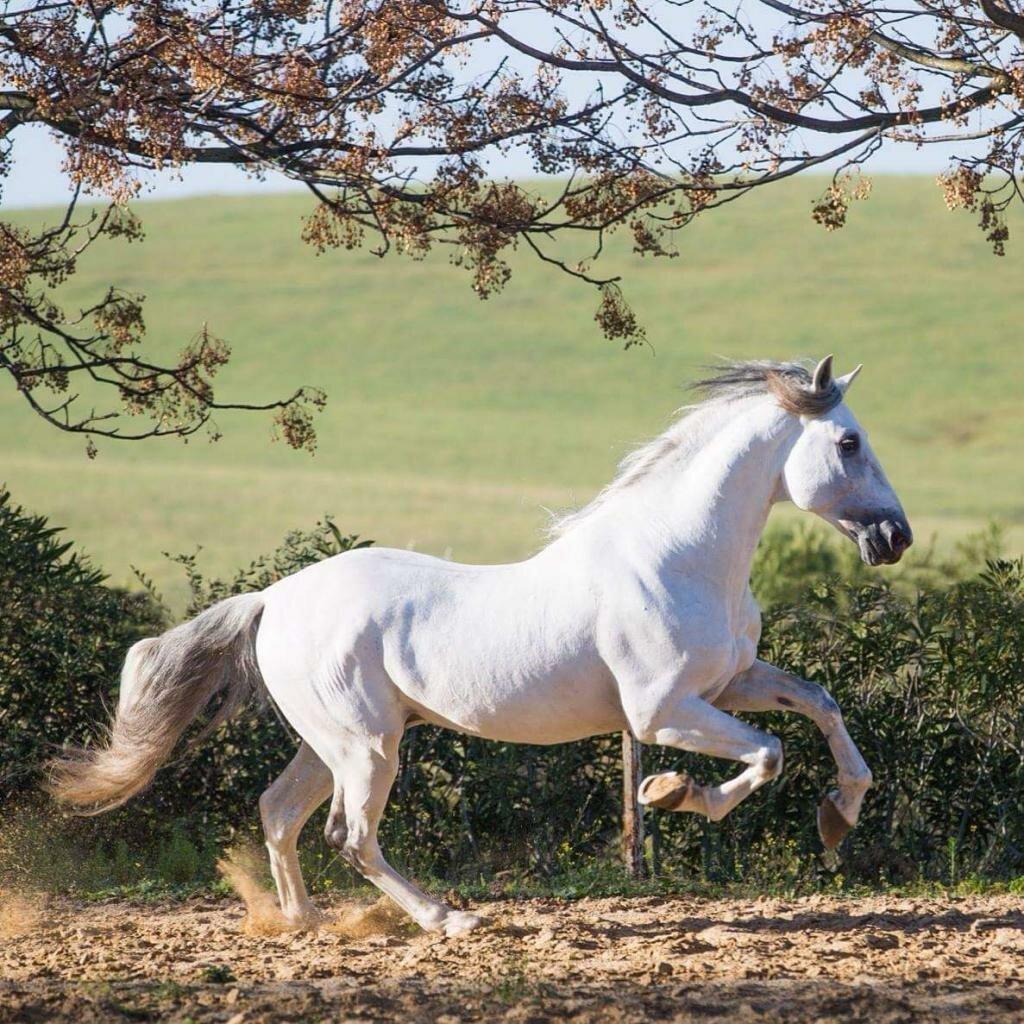 Андалузская лошадь: происхождение и особенности — cельхозпортал