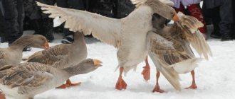 Куры теряют перья: почему клюют других и чего им не хватает
