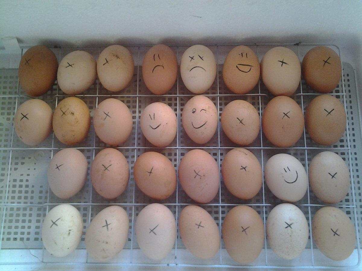 Особенности инкубации индюшиных яиц: от закладки до вылупления