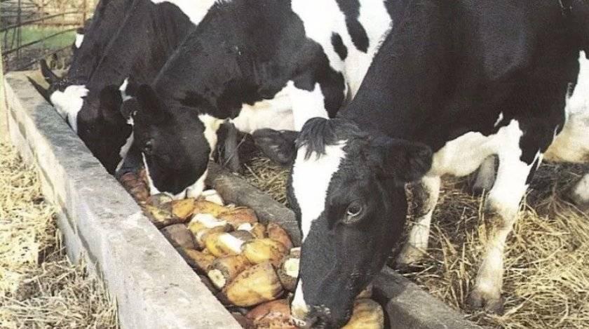 Чем обработать корову от оводов и слепней в домашних условиях - сорнякам нет