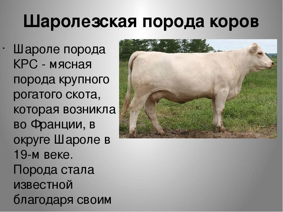 Симментальская порода коров: описание и характеристика