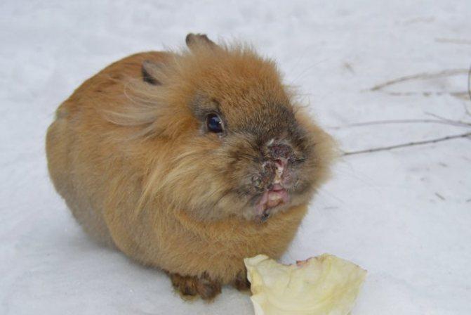 Стоматит у кроликов лечение видео