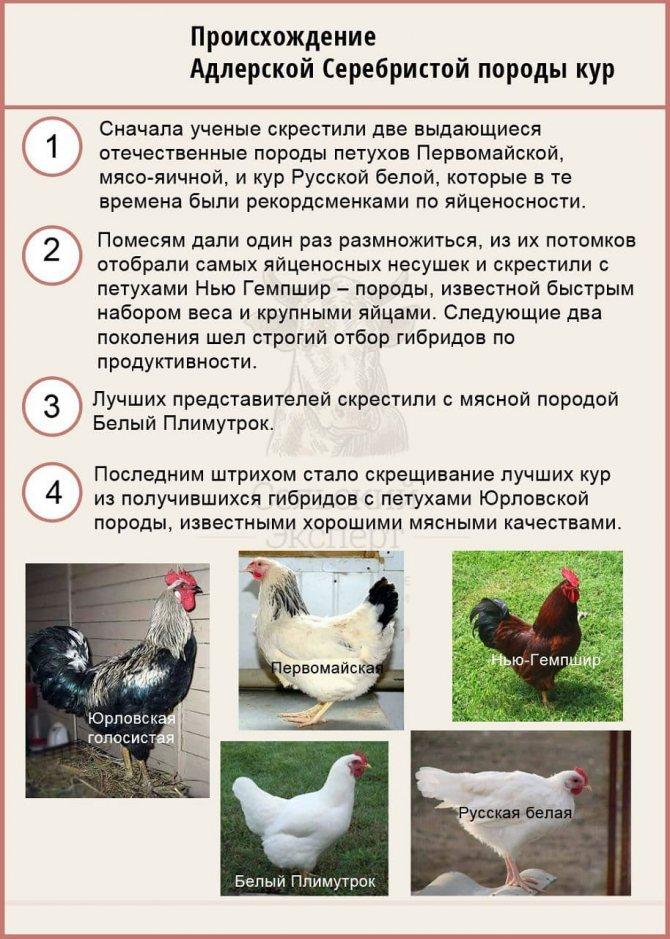 Описание пушкинской породы кур, способы содержания, кормления и разведения