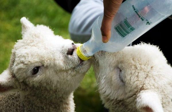 Чем кормить овец и баранов: в домашних условиях, что они едят, откорм на мясо
