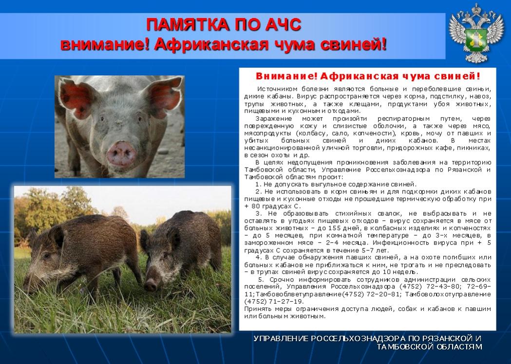 Что делать, если у свиньи поднялась температура