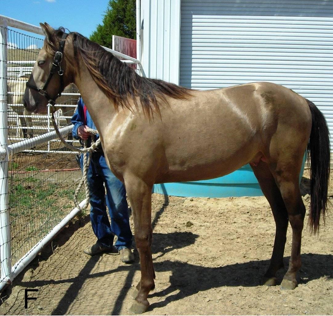Масти лошадей (49 фото): черный и серый, рыжий и коричневый, изабелловый и другие варианты окраса