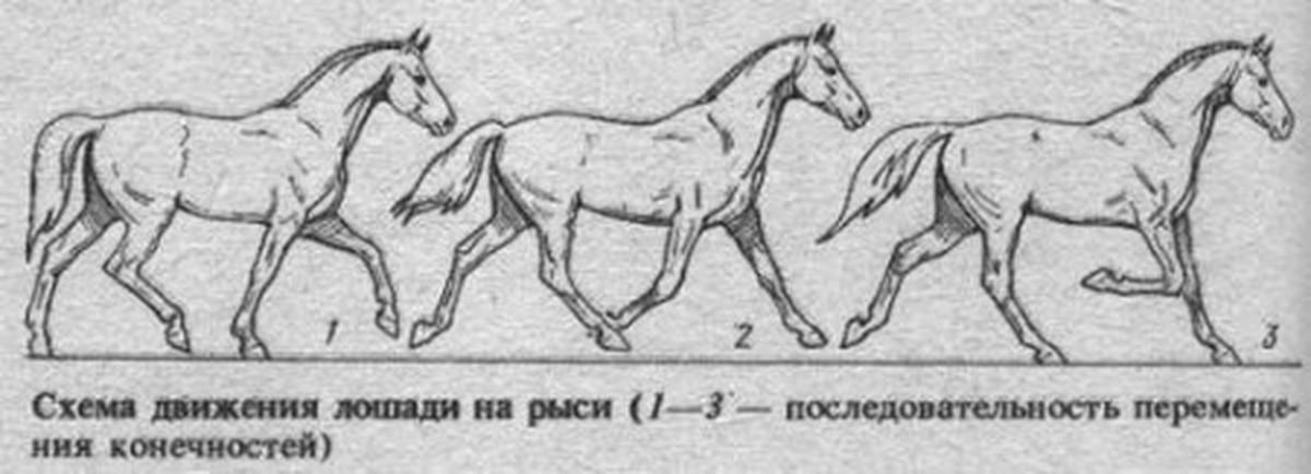 Аллюры лошадей виды аллюра