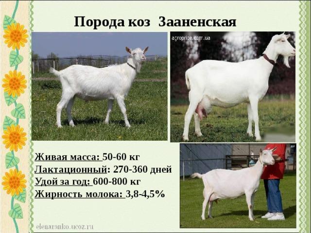 Коза ламанча: описание и характеристика породы