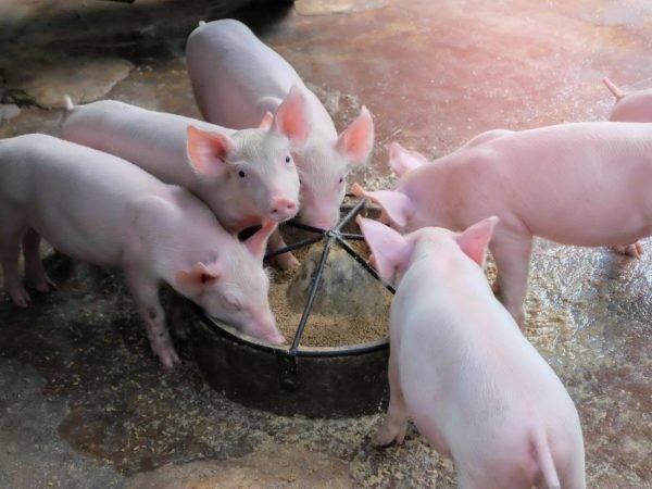 Кормление свиней для быстрого роста в домашних условиях