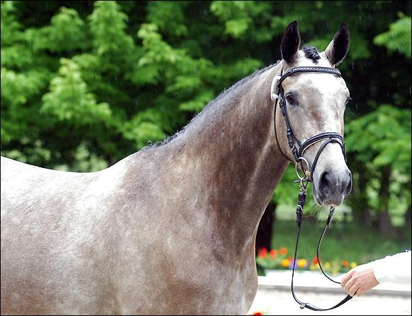 Лошадь ганноверской породы: кони выведенные в ганновере красивы и выносливы