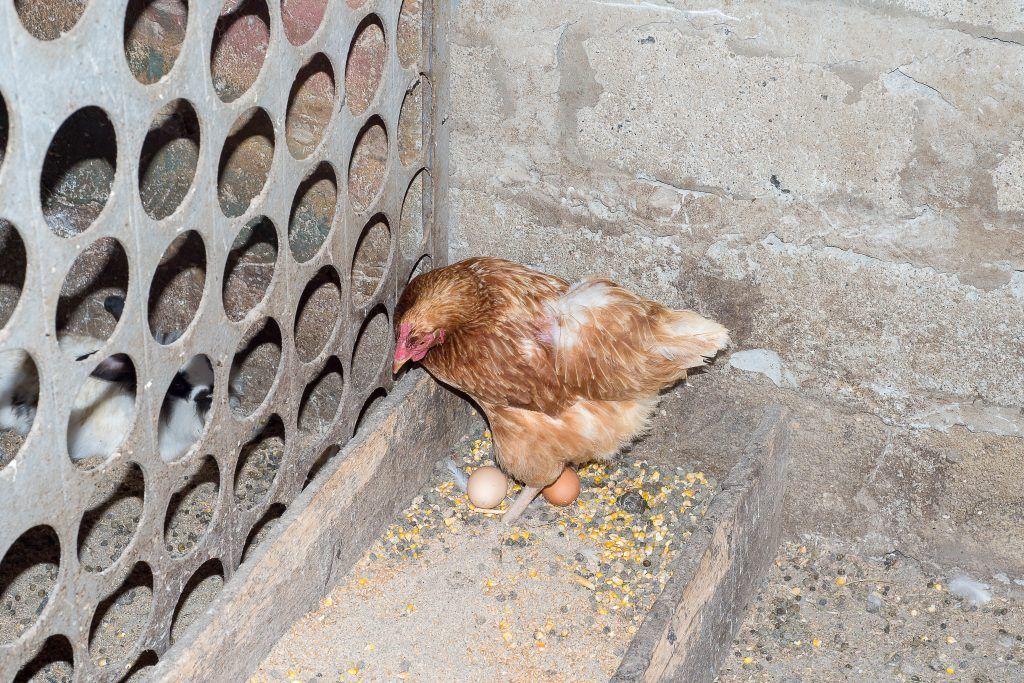 Курица нахохлилась, мало двигается, не ест и не пьет: причины и что делать?