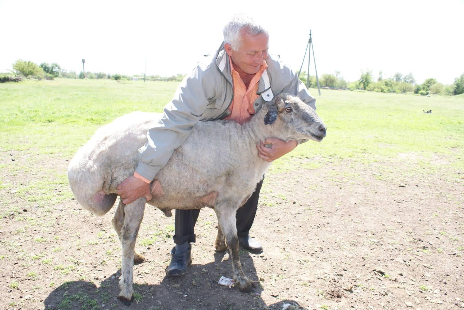 Эдильбаевская порода овец: описание и характеристика, правила содержания, разведения