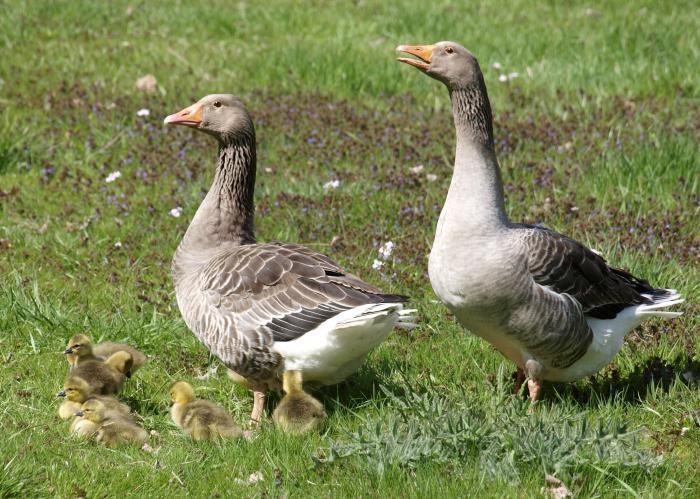 Порода уральские гуси