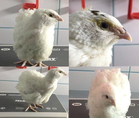 Техасский белый бройлерный перепел: описание породы, яйценоскость, содержание и уход, инкубация яиц