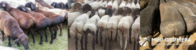 Разведение баранов: выбор породы, условия содержания, уход