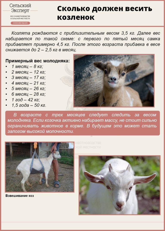 Содержание коз: нюансы выращивания и особенности рациона