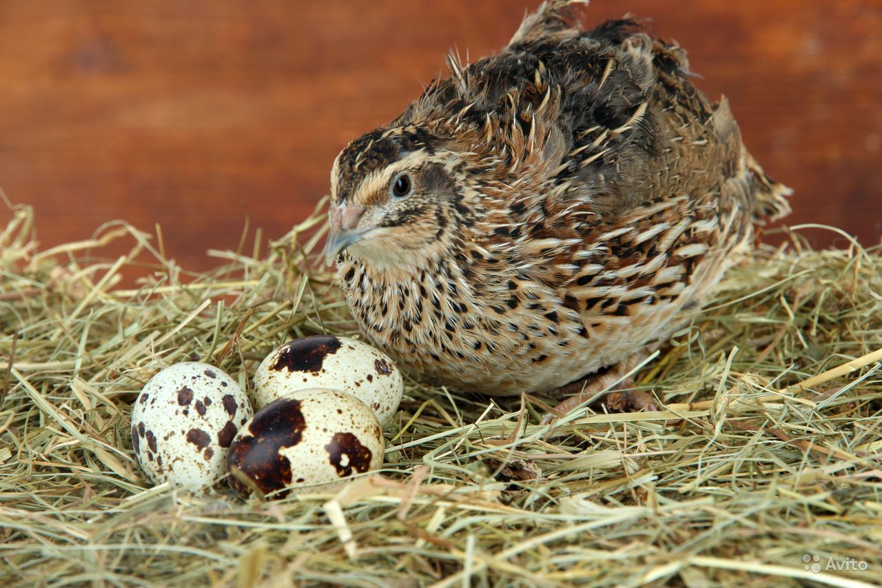 Снижение яйценоскости у перепелов и меры борьбы