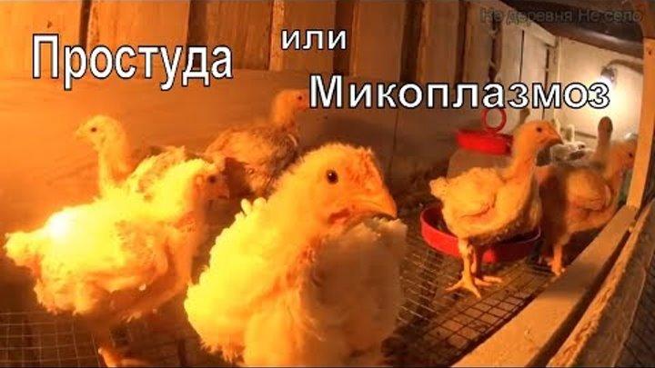 Что делать, если бройлеры чихают, хрипят, поносят: чем лечить недуги домашней птицы - jurnalagronoma