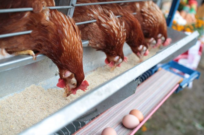 Антибиотики для цыплят и кур-несушек, для птиц широкого спектра действия, дозировка левомицетин, цефтриаксон, тетрациклин для профилактики