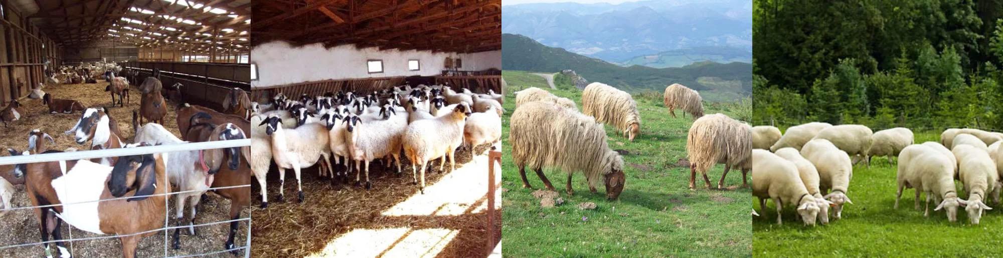 Когда стригут овец: как правильно стричь баранов машинкой или ножницами, сколько раз в год их стригут и при какой температуре