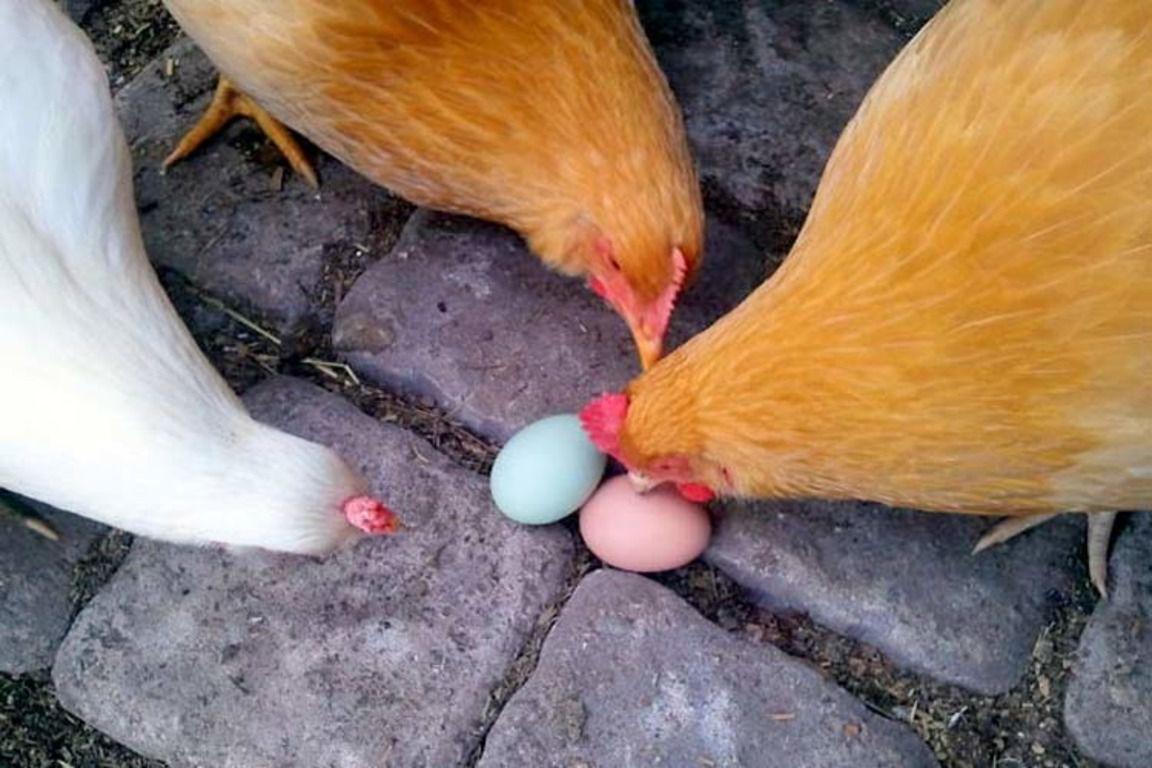 """Почему куры клюют яйца — что делать, чтобы отучить птиц от """"вредительства""""?"""