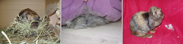 Беременность и роды у кроликов