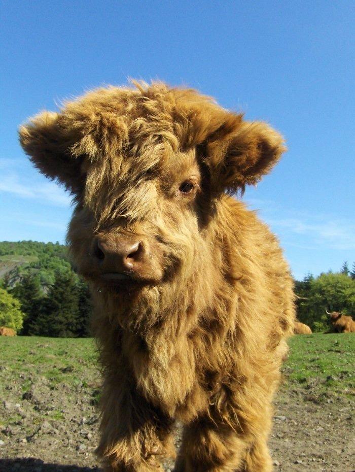 Плюшевая корова: характеристика породы и особенности ее содержания
