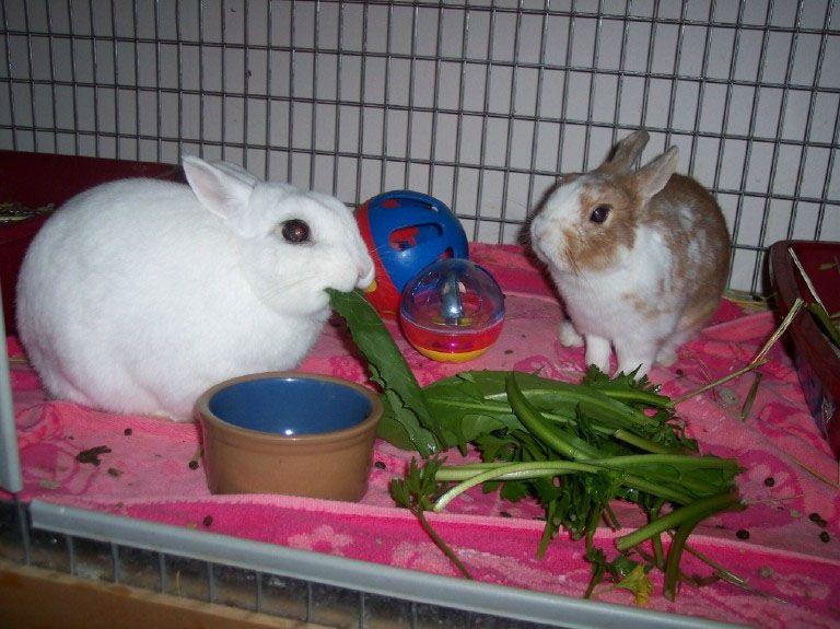 Title: декоративные кролики: особенности содержания и как кормить в домашних условия,что любят есть